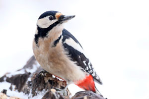 Der Buntspecht kann das ganze Jahr über beobachtet werden. Im Winter besucht er auch gerne Vogelfutterplätze. Foto: NABU/Frank Derer