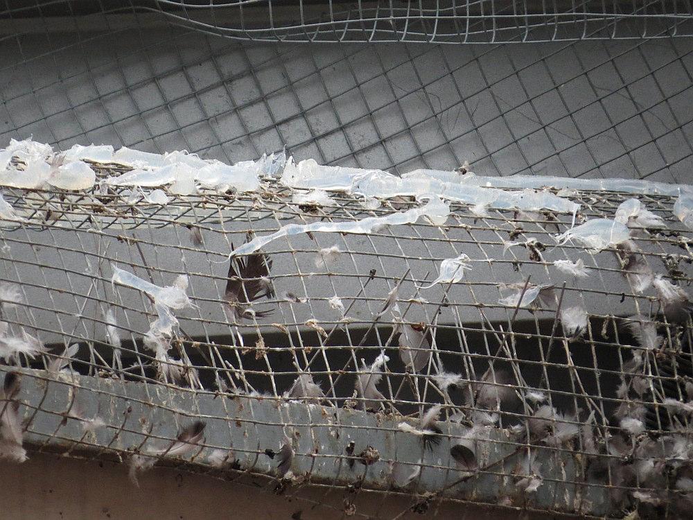 Die Stränge der Paste sind gut zu erkennen. Ebenso, dass einige Tauben damit bereits in Kontakt kamen. Die zähe Paste klebt am Taubenfuß und später im Gefieder.