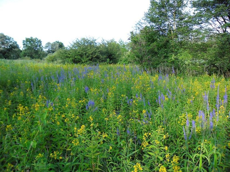 Auf dieser feuchten Sommerwiese sind die Blüten des Gilbweiderichs (<i>Lysimachia vulgaris</i>) und des Langblättrigen  Blauweiderich (<i>Pseudolysimachion longifolium</i>) besonders auffällig.</p>Foto: René Sievert