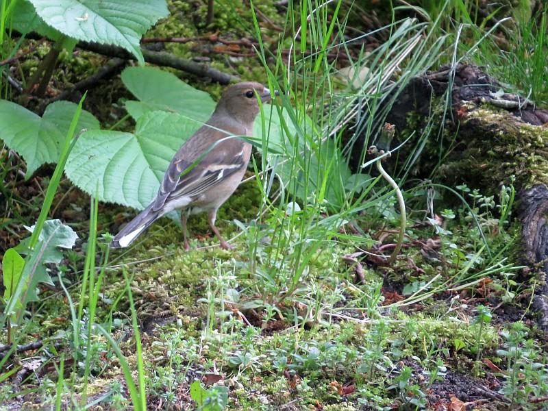 Der weibliche Buchfink saß direkt neben einem Männchen, es kam sogar zur Paarung.