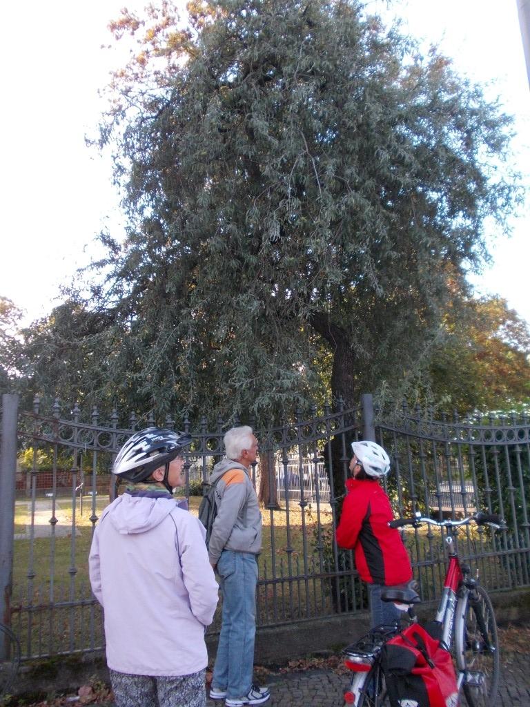 Auch diese Weidenblättrige Birne an der Karl-Tauchnitz-Straße hat ungewöhnliche Laubblätter...