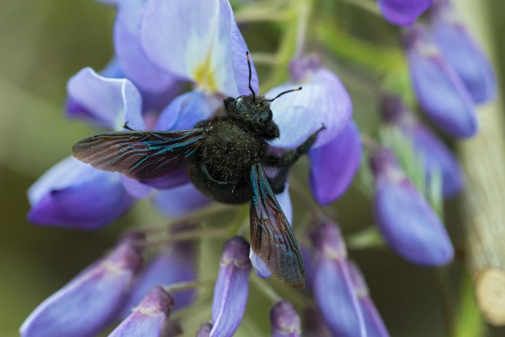Blaue Holzbiene</p>Foto: NABU/Frank Leo/Fokus Natur
