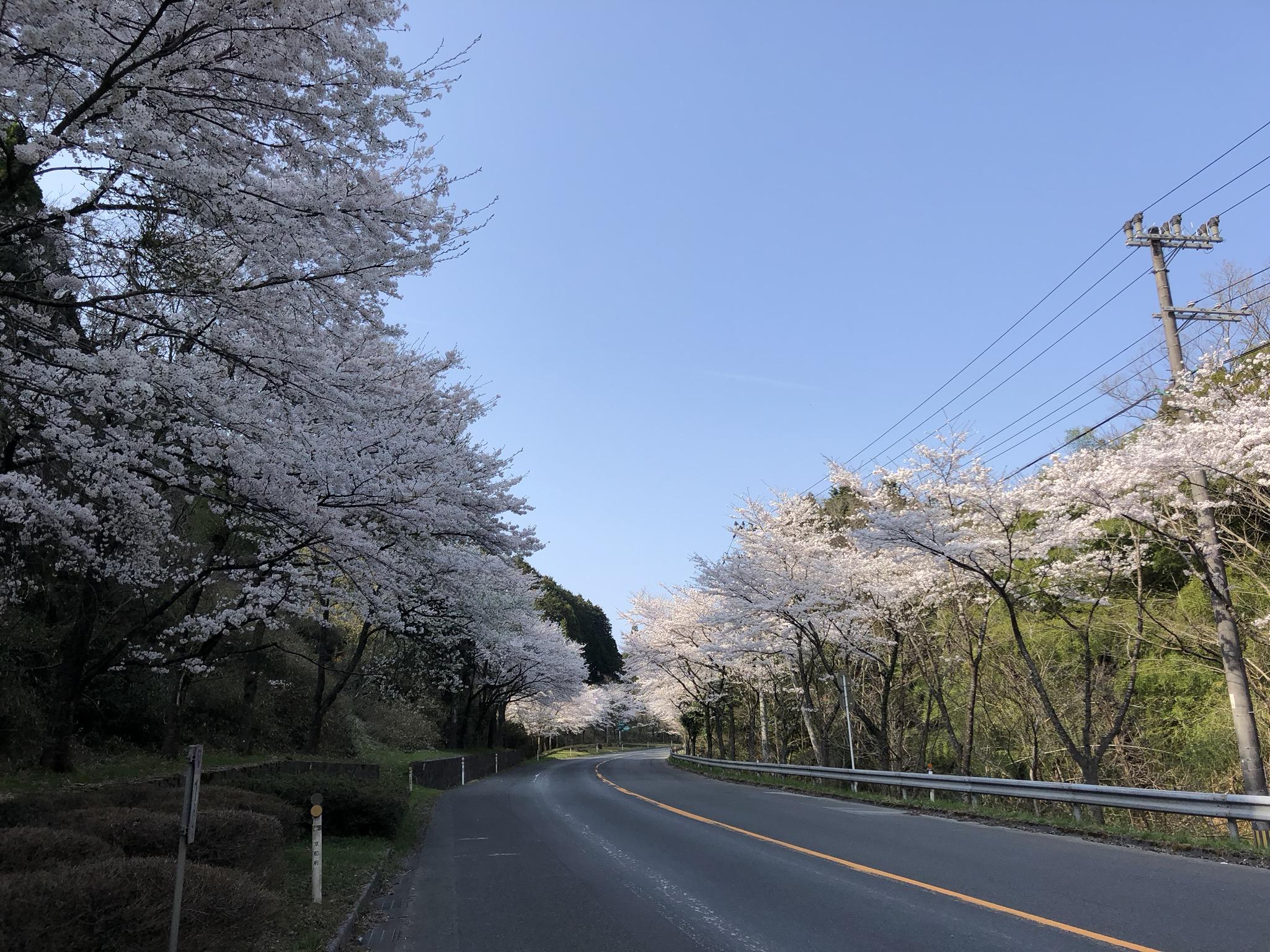 #桜 #丹後 #水戸谷峠 #満開