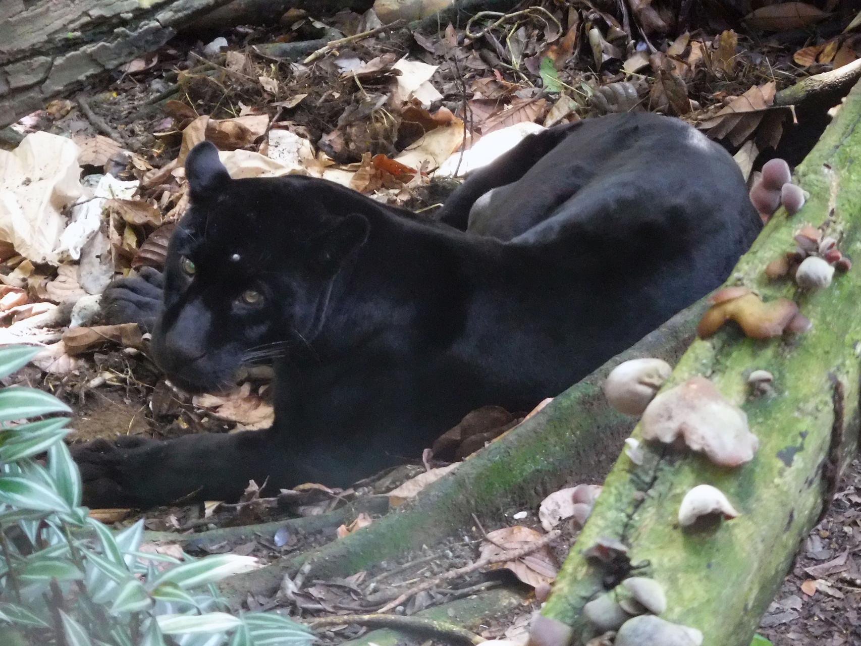 Jaguar noir : un gros chat