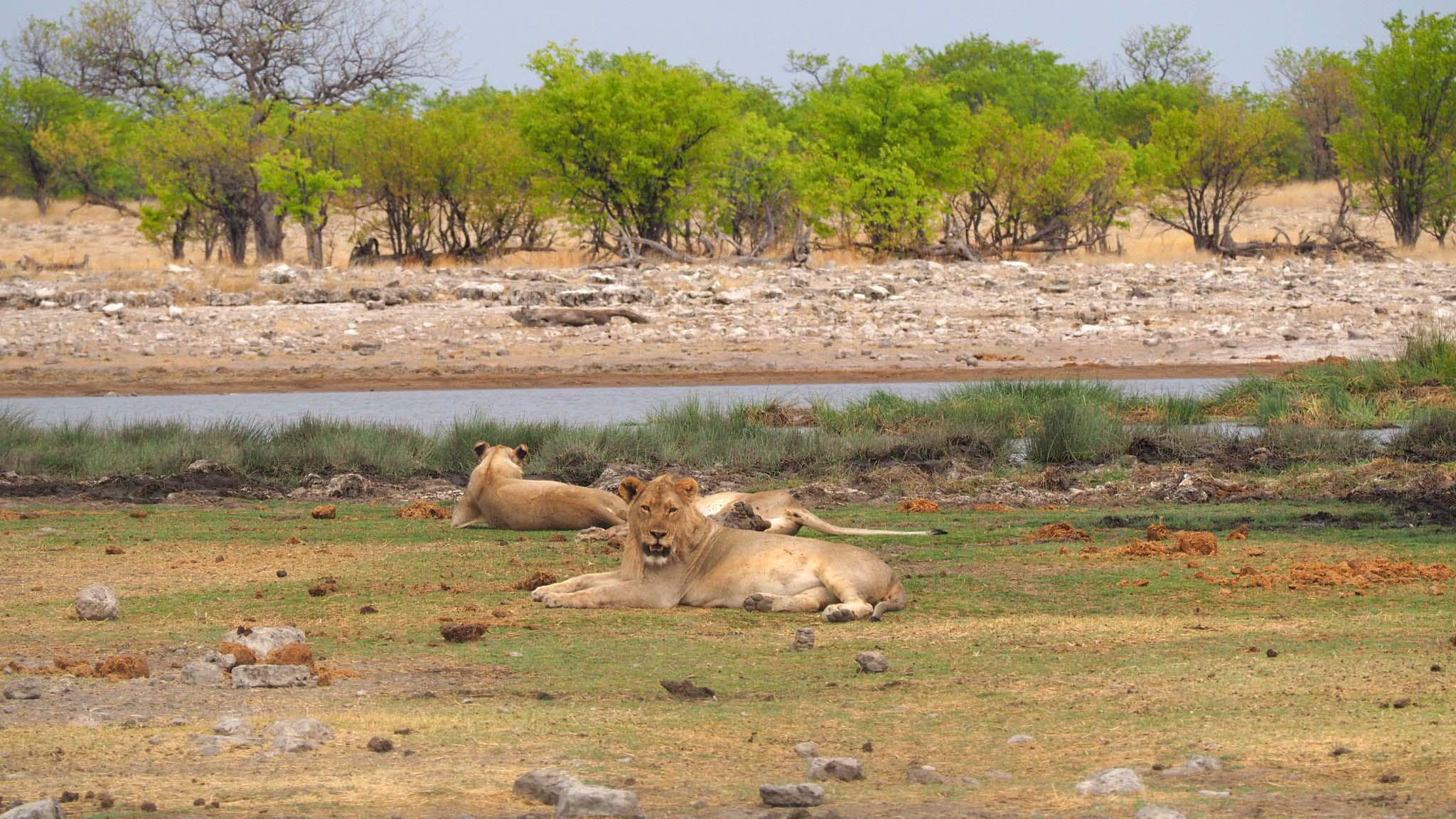Famille de lions - Etosha - Namibie