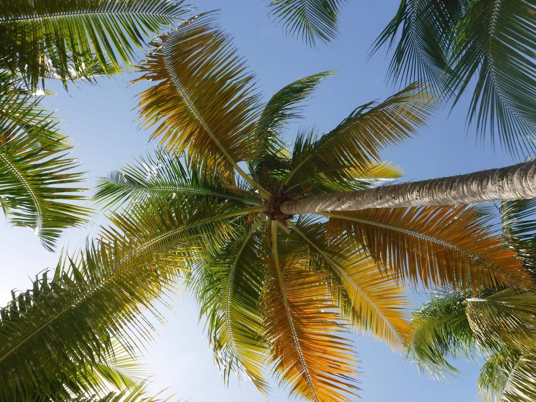 Palmiers de la plage de la caravelle