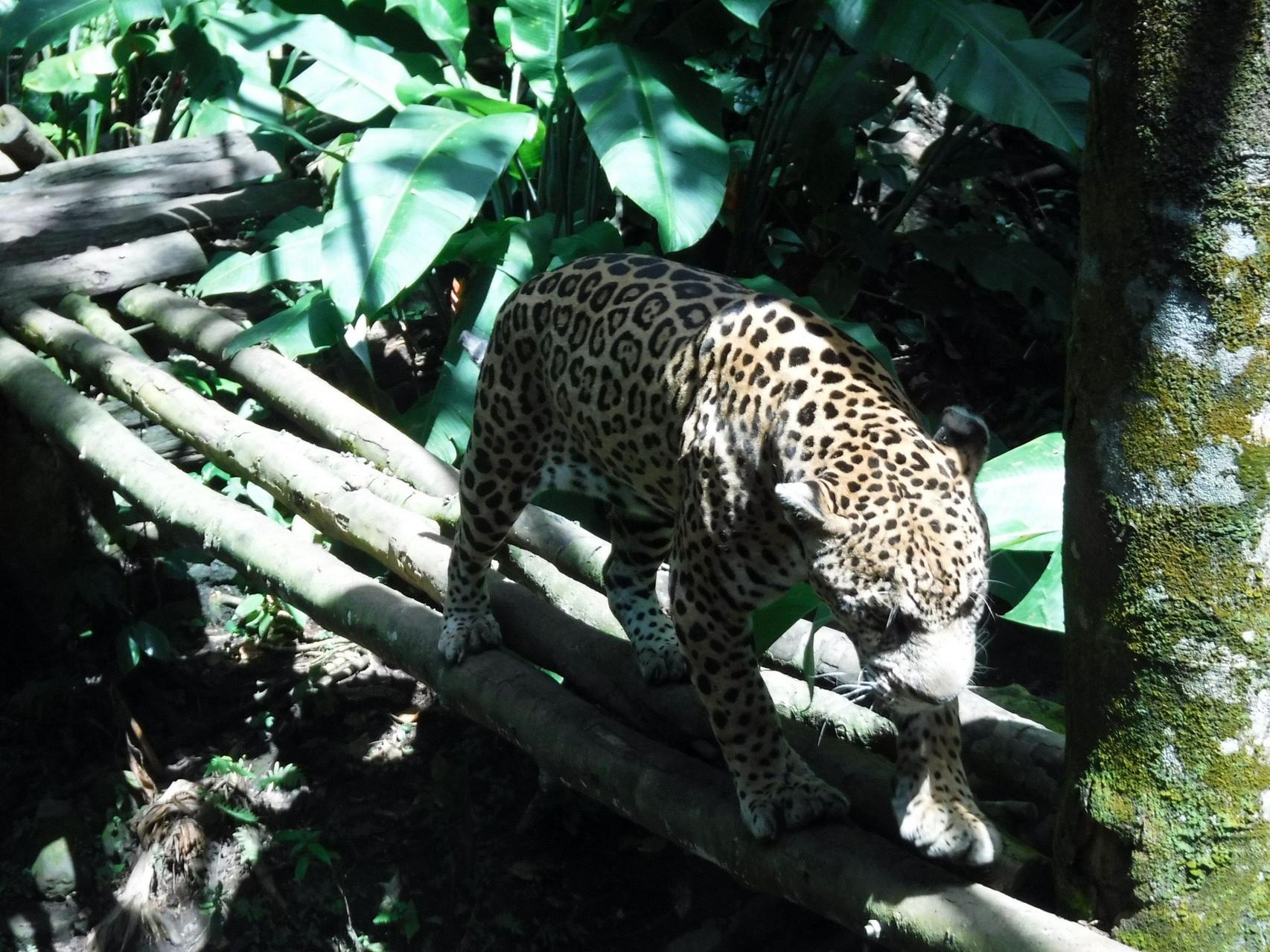 Victor le jaguar-star