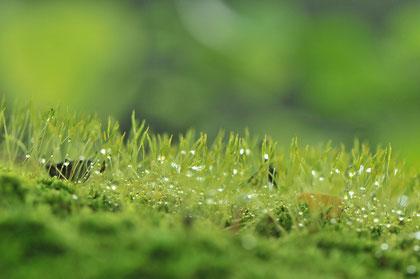 Tautropfen auf Gras