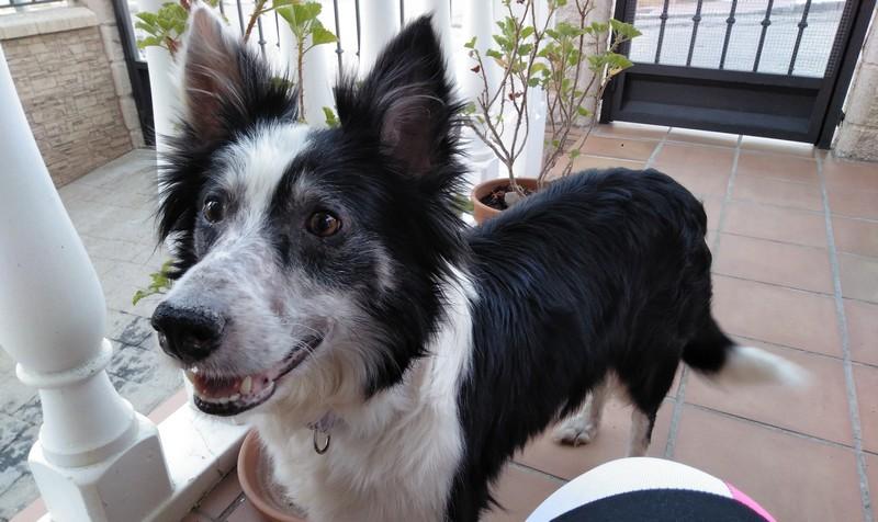 Collie adoptée par Chloé et Maxime
