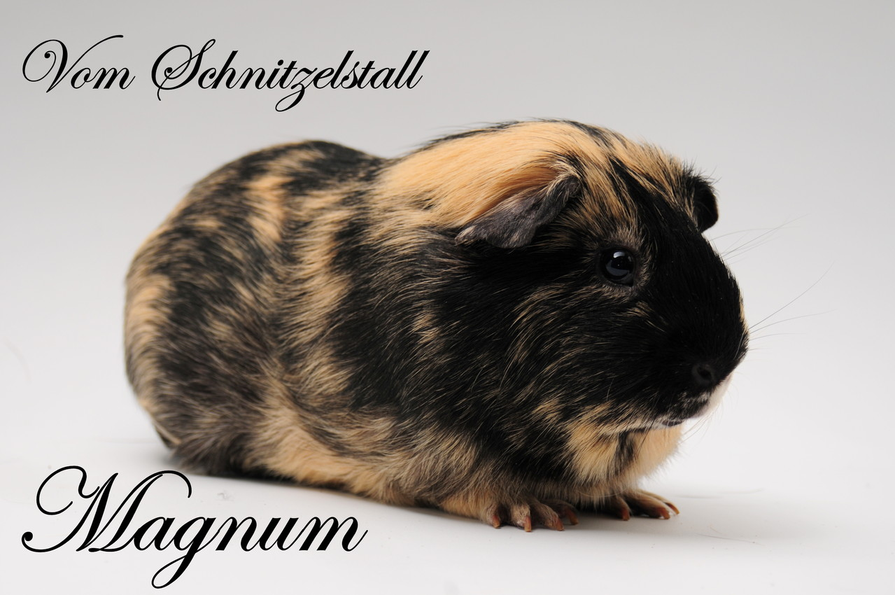 Magnum v. Schnitzelstall - Showtier