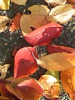 落ち葉、桜
