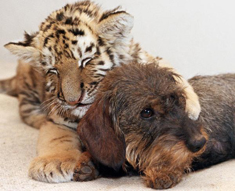 Tigerbaby und Dackelhündin