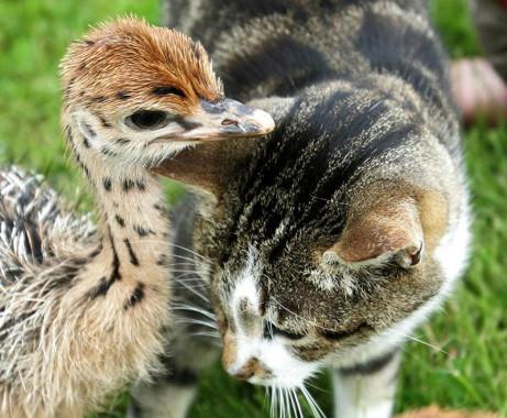 Straußenküken und Katze