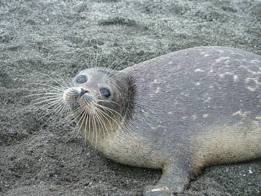 Kaspi-Robbe - sehr stark gefährdet