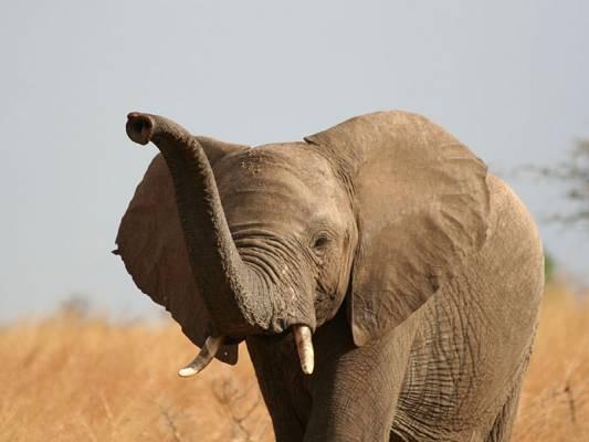 Afrikanischer Elefant - Bestände erholt, jedoch Waldelefant stark bedroht