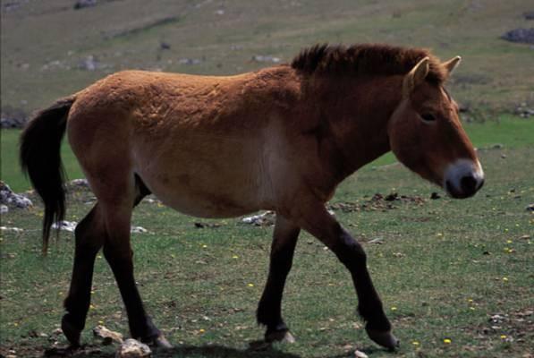 Przewalski-Pferd - Weltweit nur noch 2000 Tiere