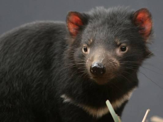 Tasmanischer Teufel, Australien - bedroht