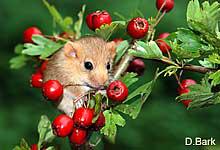 Haselmäuse fressen neben Haselnüssen auch alle Arten von Früchten und Knospen