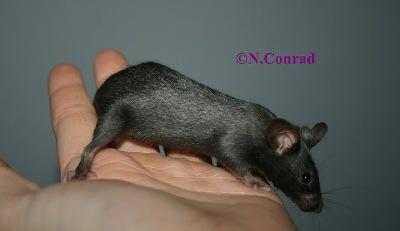 Silver Grey - Vielen Dank für das Bild an die Farbmaus-Rassezucht Mice of Paradise!