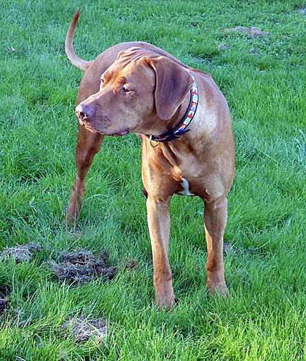 Rhodesian Ridgeback étalon pour saillies    chien de crête dorsale de rhodésie  ridgeback livernose   expositions canine CACS  chiots ridgeback
