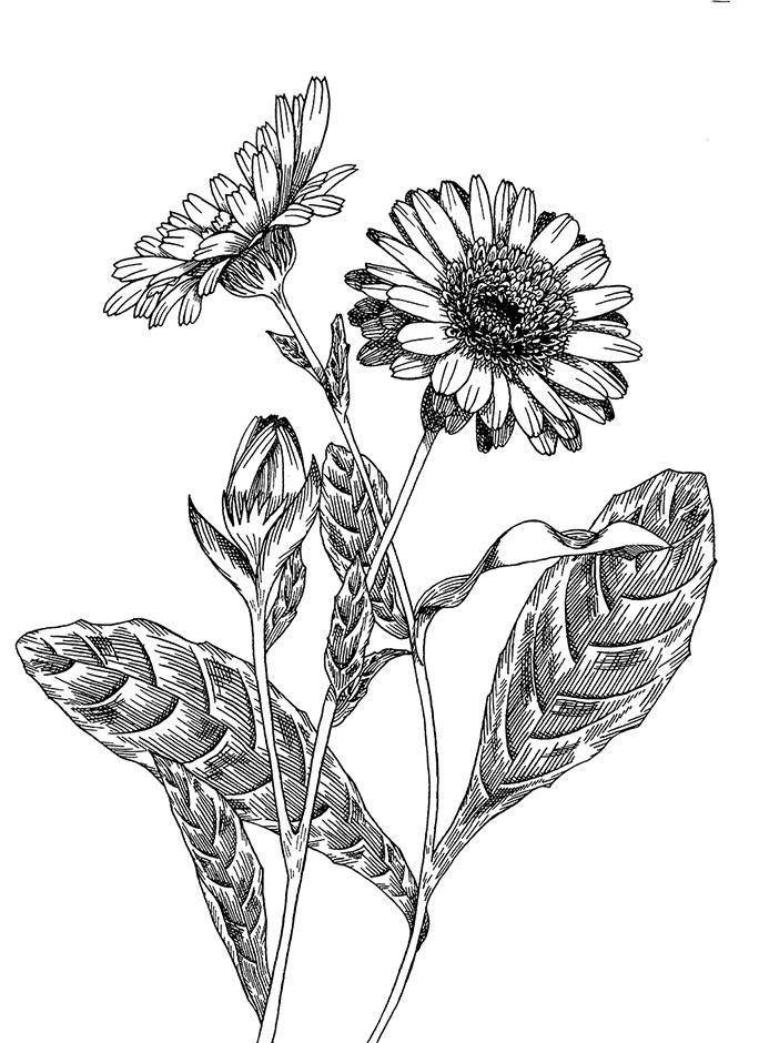 design illustration melanie suter floral botanisch pflanzen ringelblume natur kosmetik handgezeichnet analog