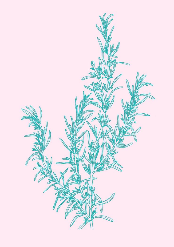 design illustration melanie suter floral botanisch pflanzen rosmarin natur kosmetik handgezeichnet analog