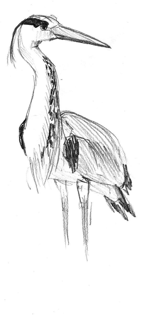 design illustration melanie suter bleistift  reiher natur zeichnung handgezeichnet analog