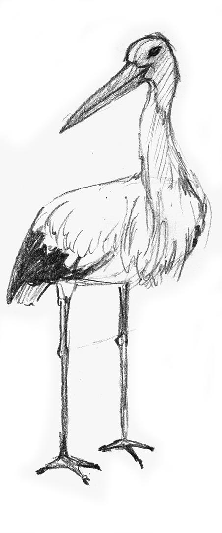 design illustration melanie suter bleistift  storch natur zeichnung handgezeichnet analog