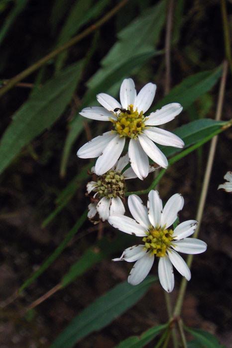 ナガバシロヨメナ  この花は終わりかけているが、ツボミも多かった