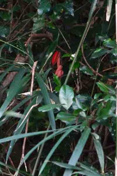 ツチアケビの果実 ちと遠い藪の中でした