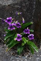 アツバスミレの花のページ