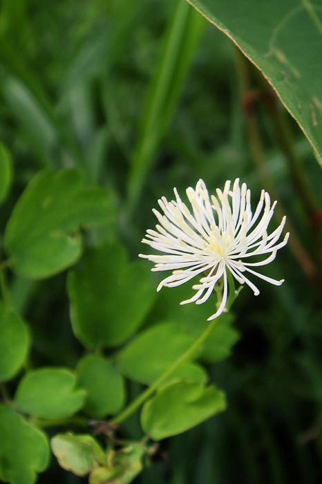 カラマツソウの雄しべは白色で、花糸は基部から先端まで同じ太さ