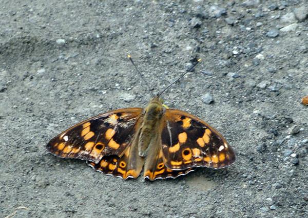 ちょっかい出されていたオオムラサキの雌 ⇒ コムラサキの雌