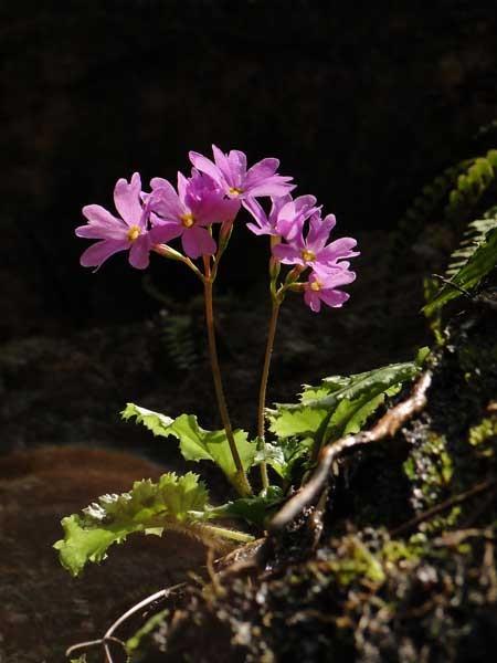 上の写真の下側に咲くイワザクラにZoom inしてみました。