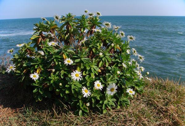 海岸の絶壁の縁に咲くハマギク