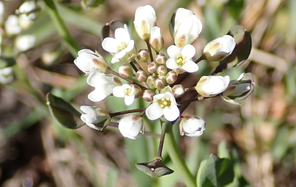 le tabouret perfolié (Microthlaspi perfoliatum)