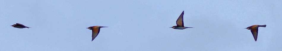Le vol du guêpier
