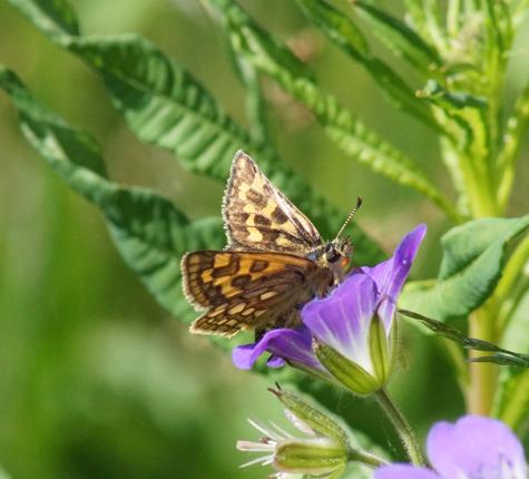 Papillons Hesperidae