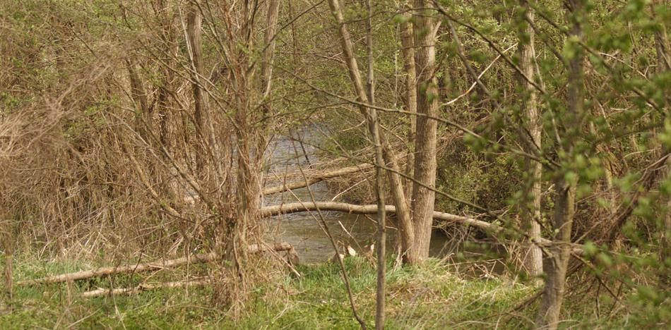 Photo de 2019 montrant quelques arbres coupés par le castor.