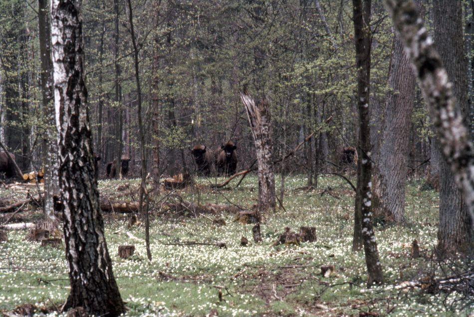 Bisons d'Europe, forêt de Białowieża