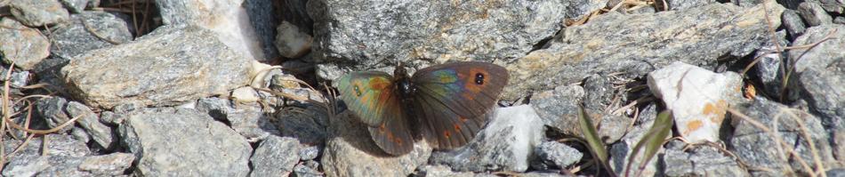Le moiré piémontais (Erebia aethiopellus)