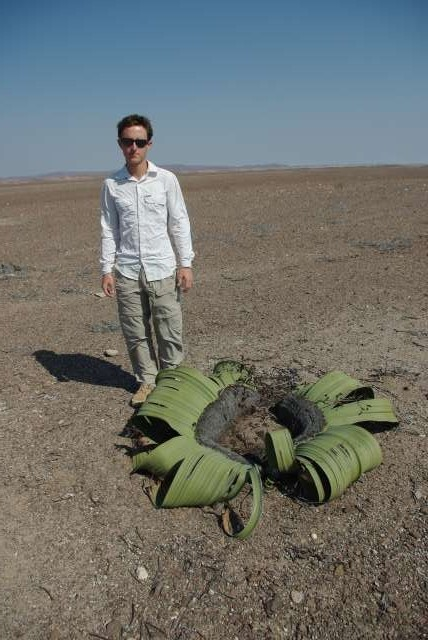 Welvitschia mirabilis, plante endémique dans le désert du Namib, qui n'a que deux feuilles mais qui pousse jusqu'à 5 000 ans...