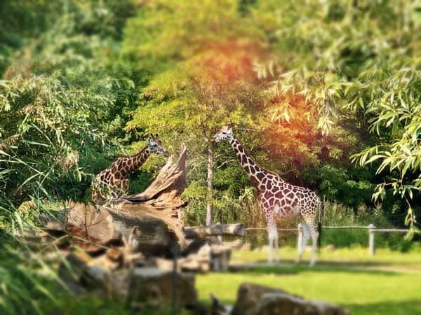 echte Giraffen am Zooschaufenster