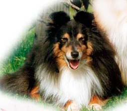 Kyleburn Bananarama – Imported by kennel Leeland (Norway) in 1988. Photo: kennel Leeland.