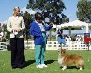 Photo: Shetland Sheepdog Club of Western Australia