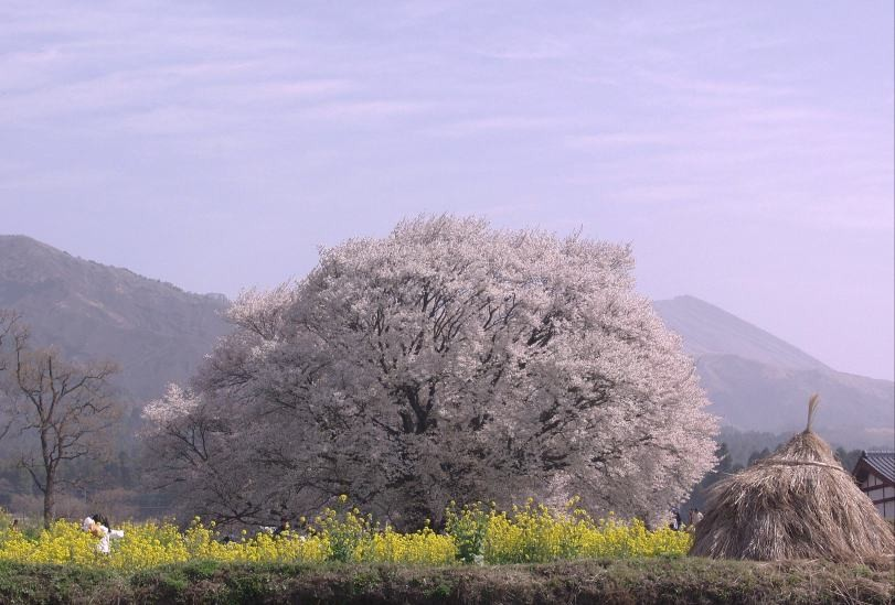 一心行の大桜①