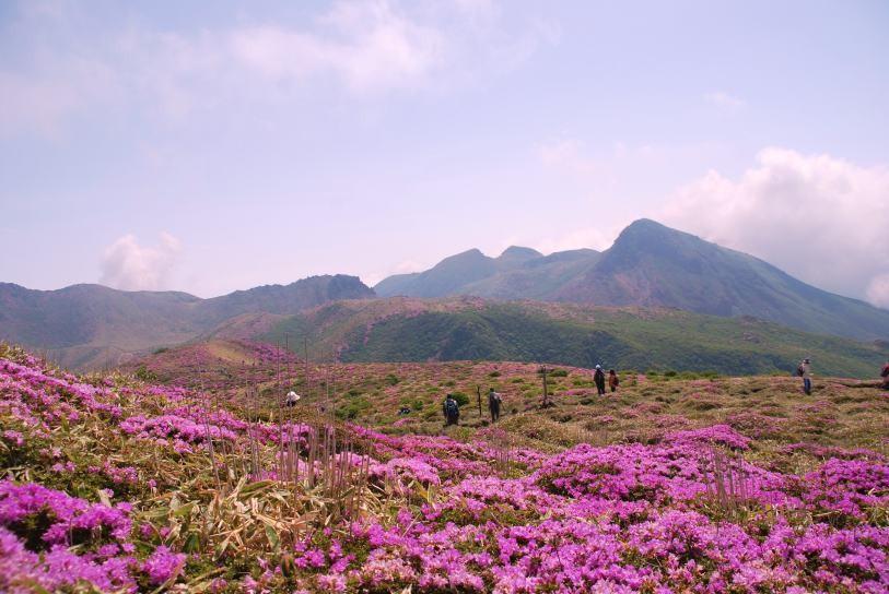 扇が鼻のミヤマキリシマ・久住山系(大分)