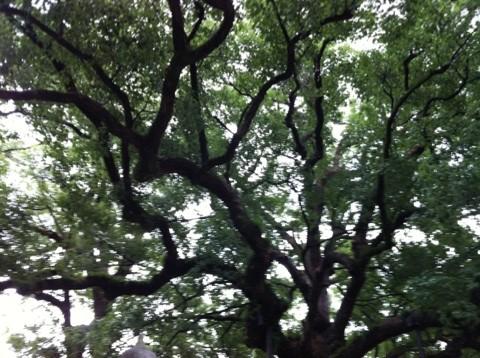 宇美八幡宮の楠