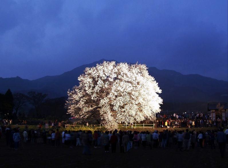一心行の大桜②