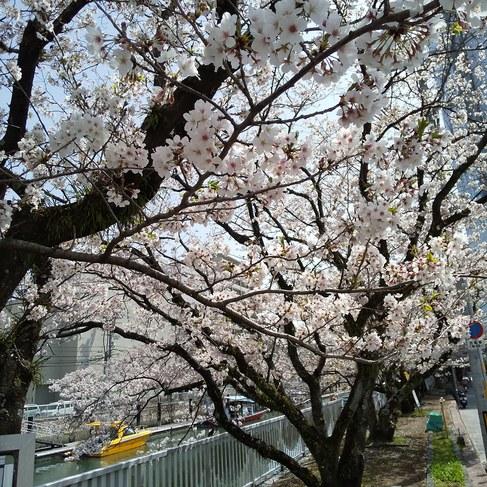 堀川・・桜並木も今が最も見所となりました。